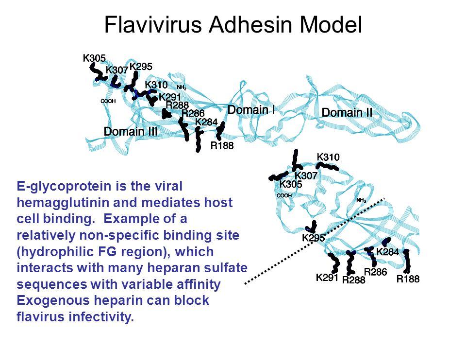 Flavivirus Adhesin Model