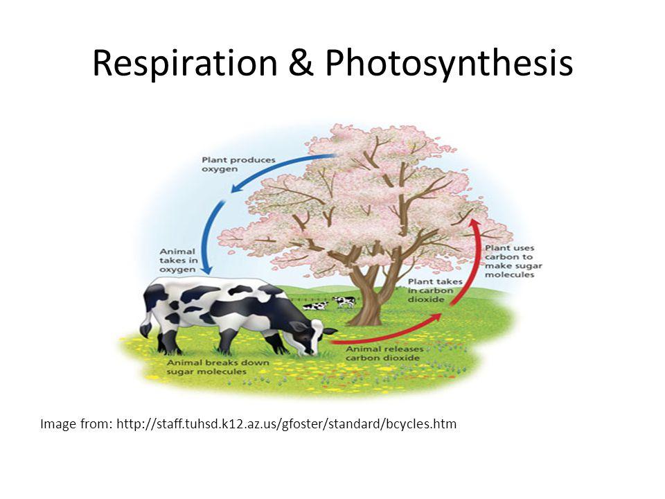 Respiration & Photosynthesis
