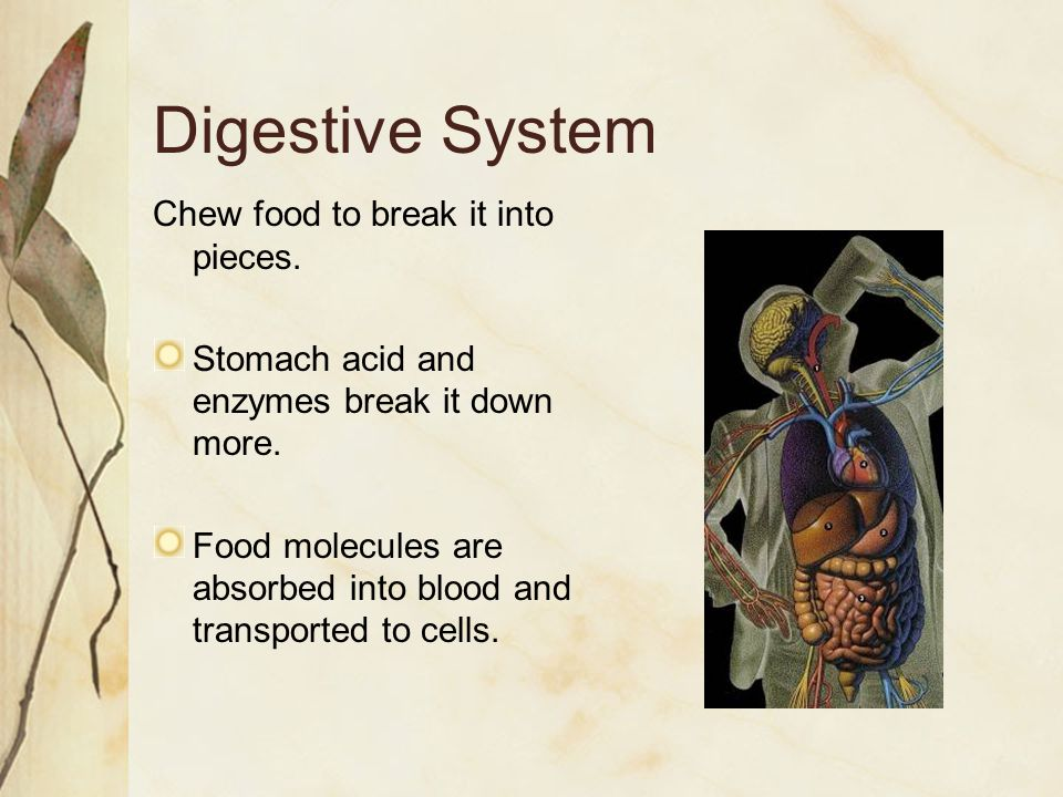 Digestive System Chew food to break it into pieces.