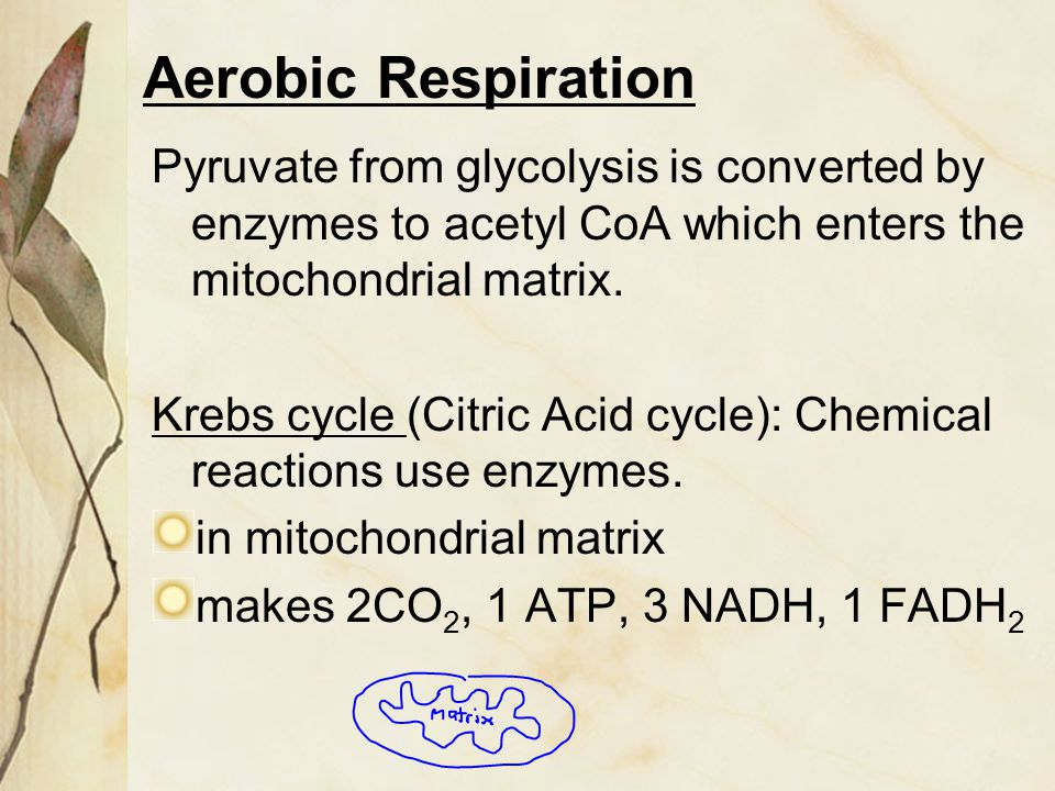 Aerobic Respiration Pyruvate from glycolysis is converted by enzymes to acetyl CoA which enters the mitochondrial matrix.