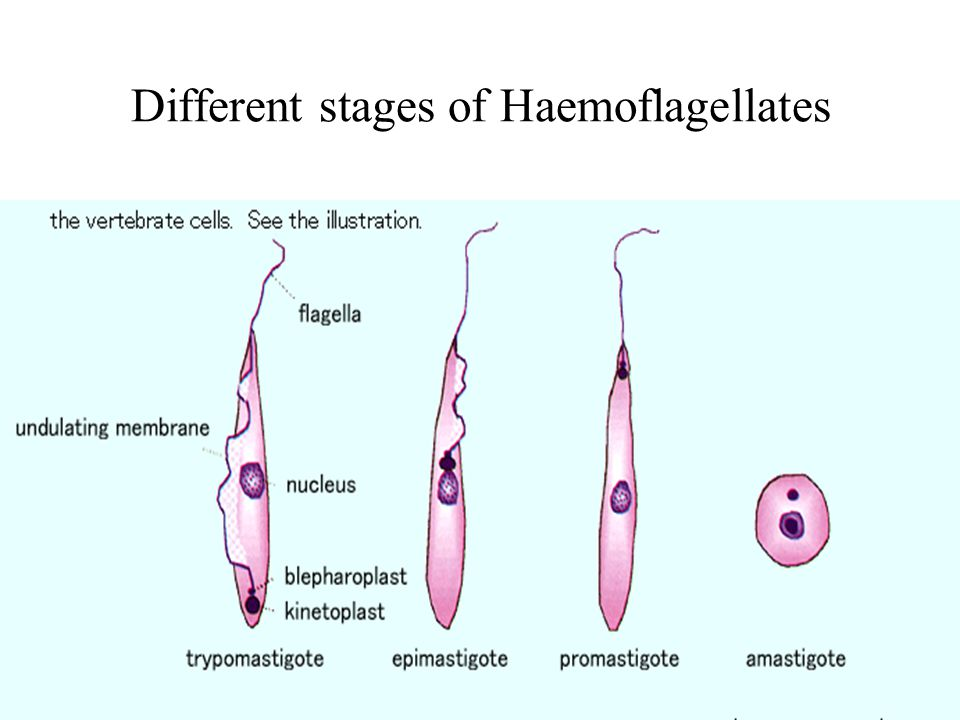 Different stages of Haemoflagellates