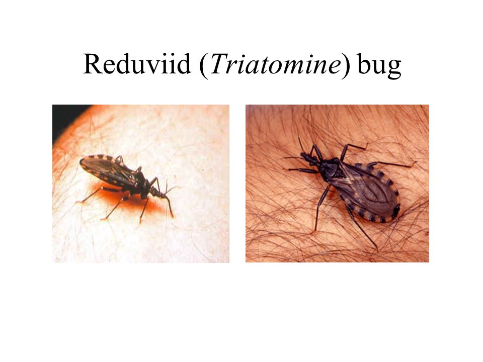 Reduviid (Triatomine) bug