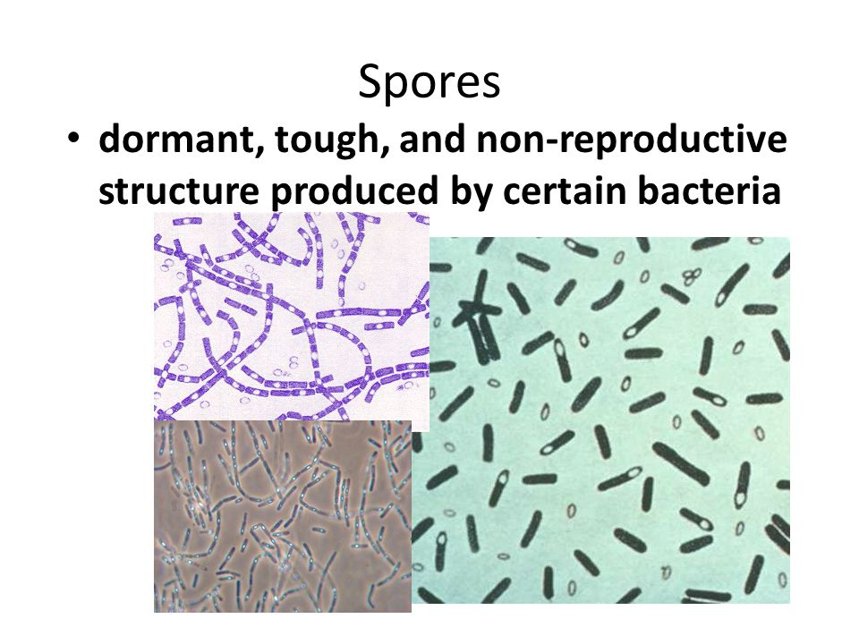 Spores dormant, tough, and non-reproductive structure produced by certain bacteria