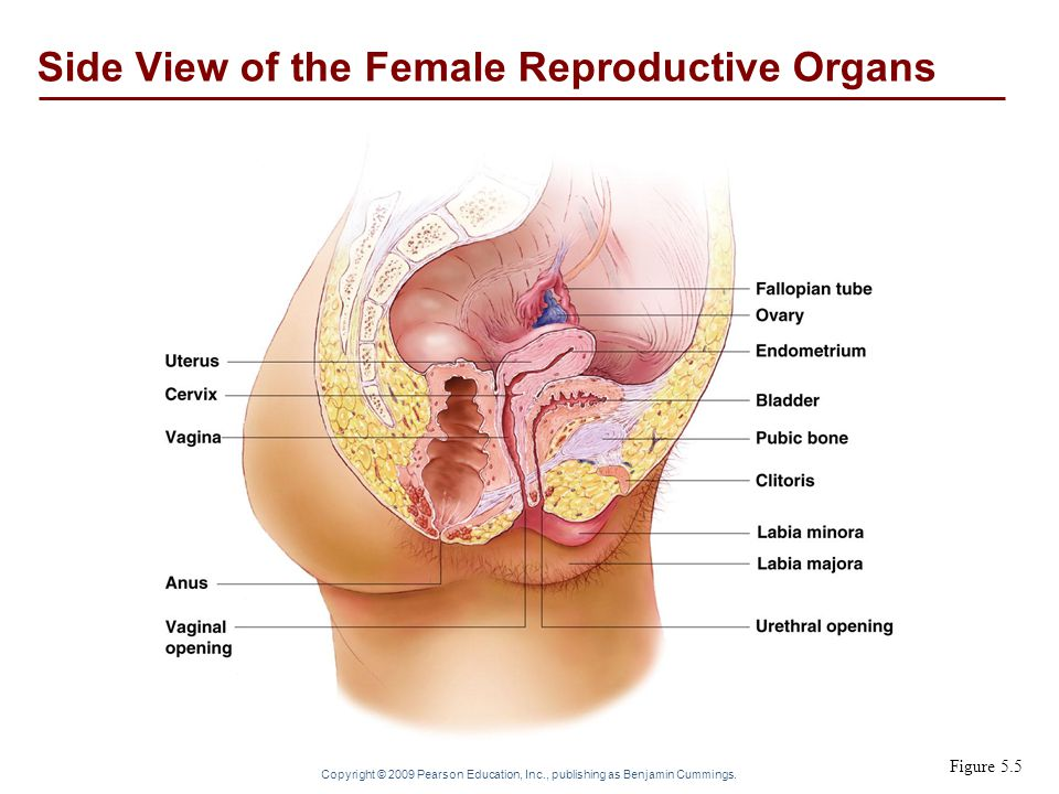 Side View of the Female Reproductive Organs