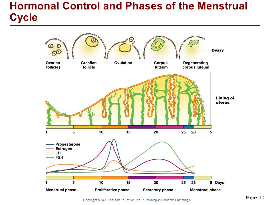Hormonal Control and Phases of the Menstrual Cycle