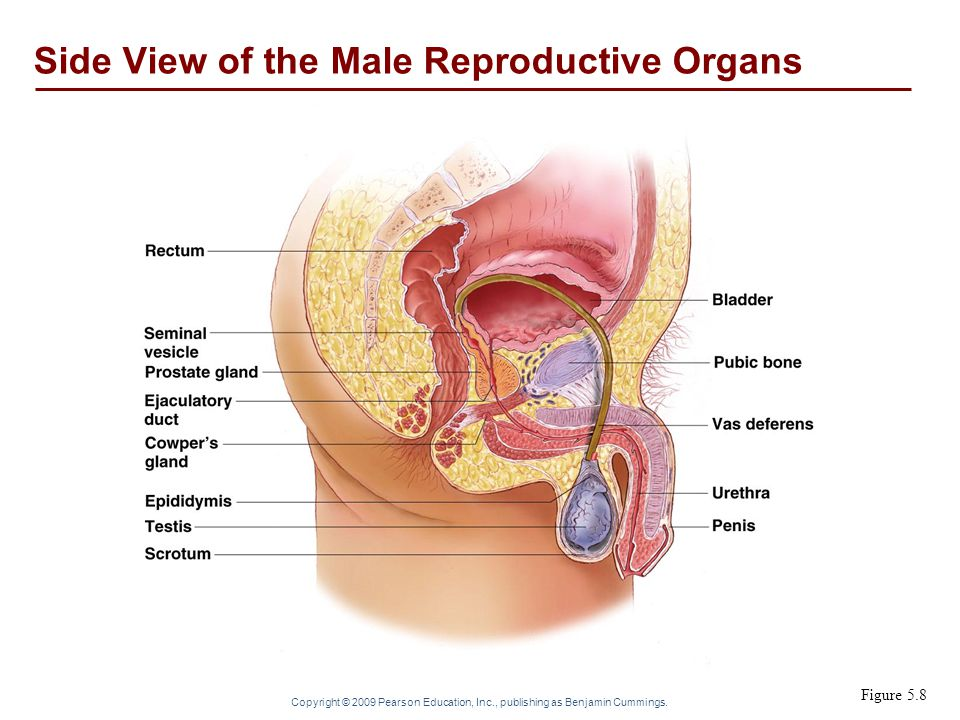 Side View of the Male Reproductive Organs