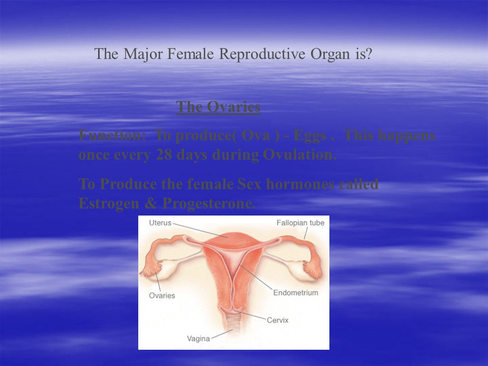 The Major Female Reproductive Organ is