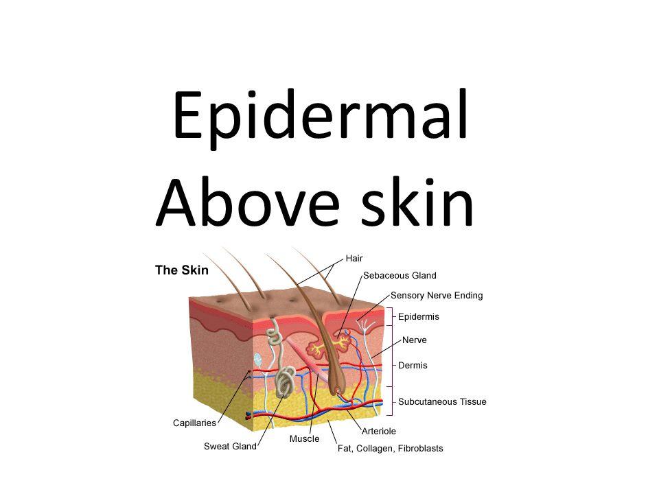 Epidermal Above skin