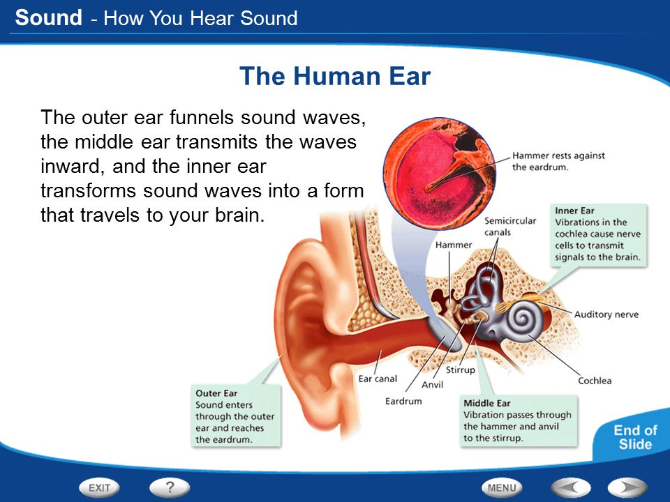 The Human Ear - How You Hear Sound