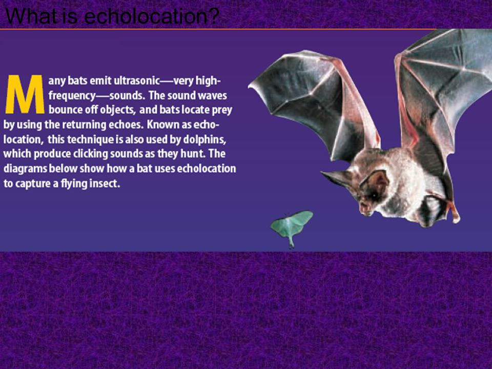 What is echolocation