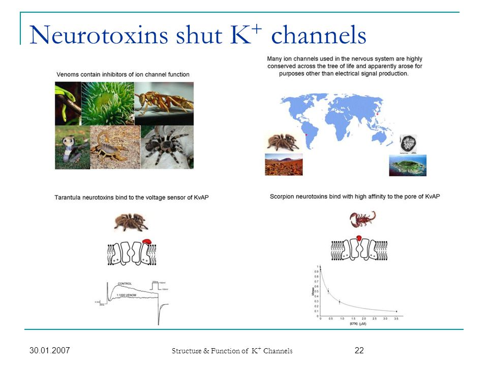 Neurotoxins shut K+ channels
