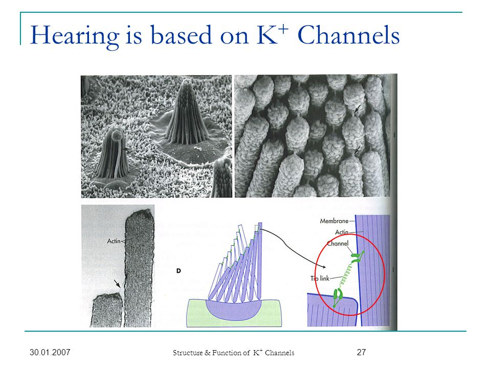 Hearing is based on K+ Channels