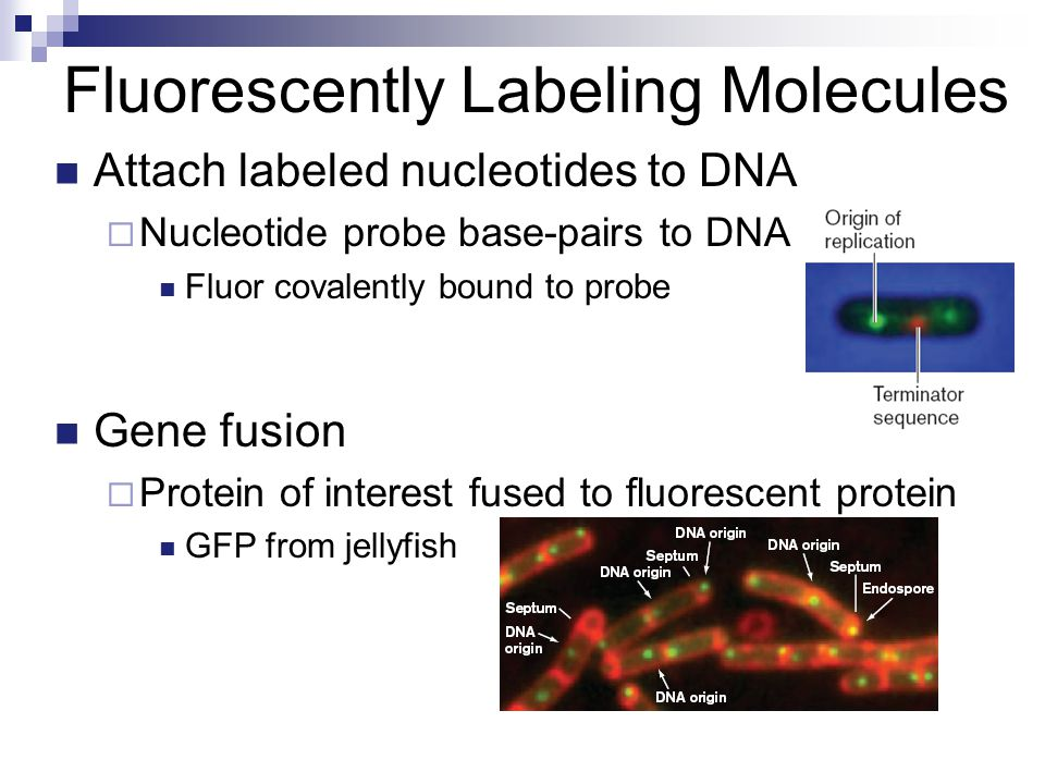 Fluorescently Labeling Molecules