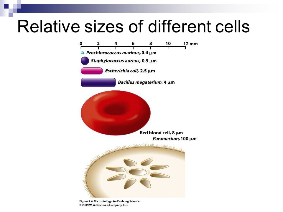 Relative sizes of different cells