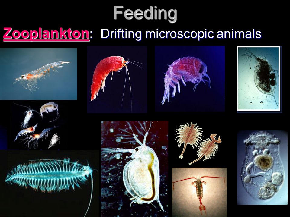 Feeding Zooplankton: Drifting microscopic animals