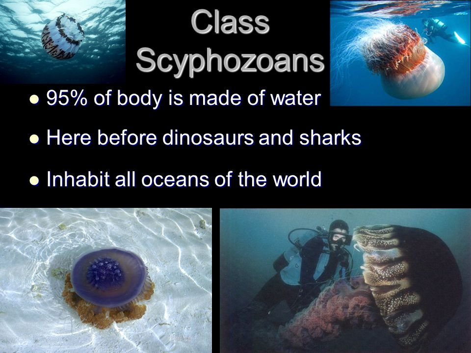 Class Scyphozoans 95% of body is made of water