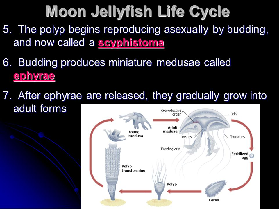 Moon Jellyfish Life Cycle