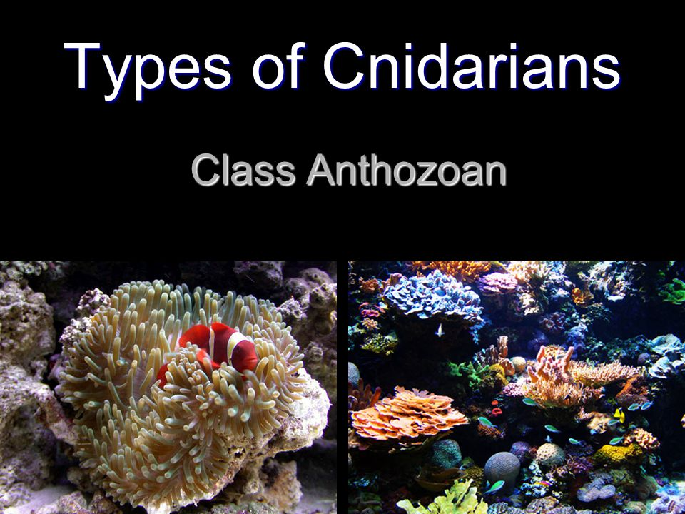Types of Cnidarians Class Anthozoan
