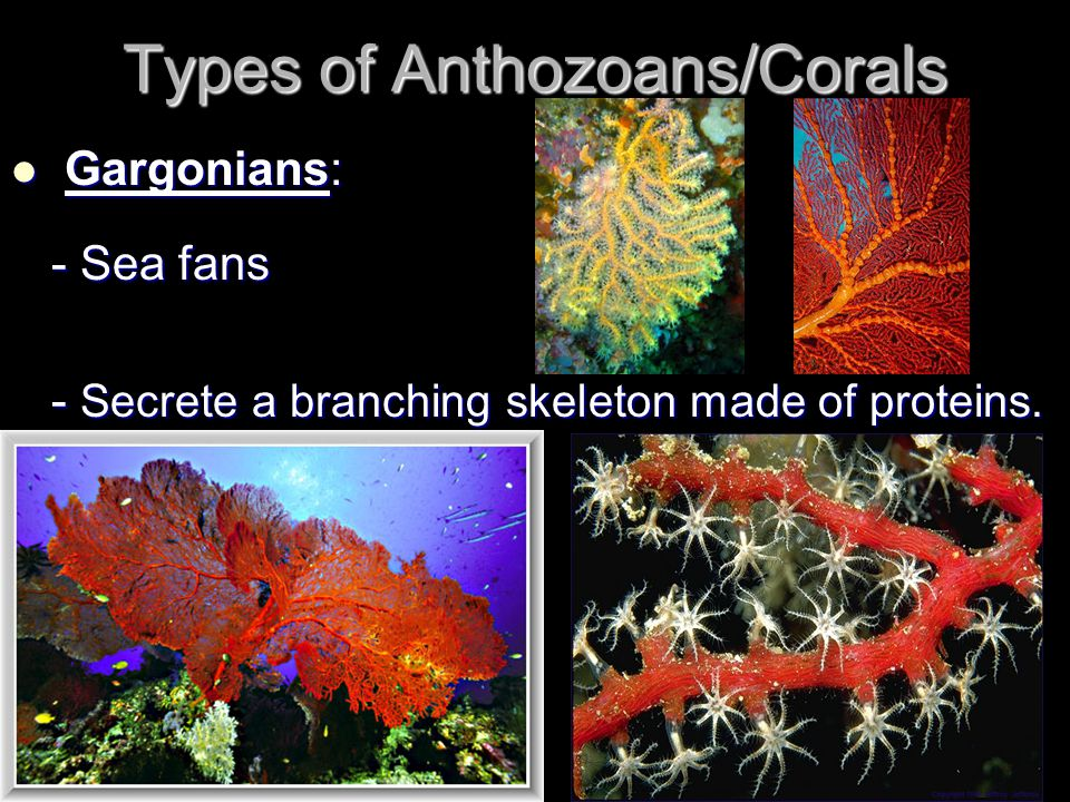 Types of Anthozoans/Corals