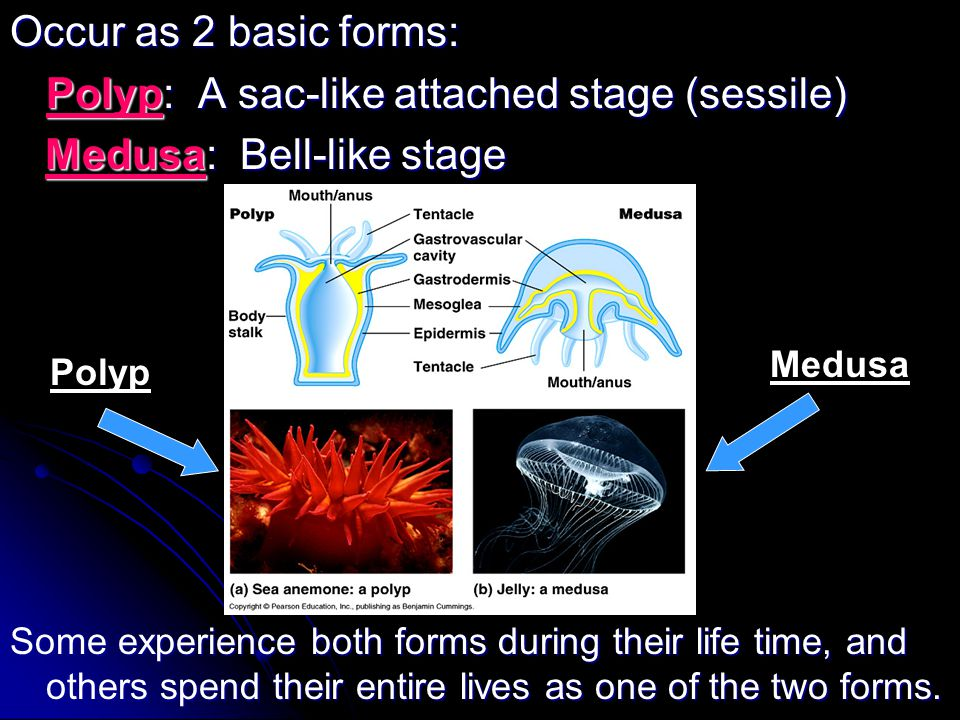 Polyp: A sac-like attached stage (sessile) Medusa: Bell-like stage