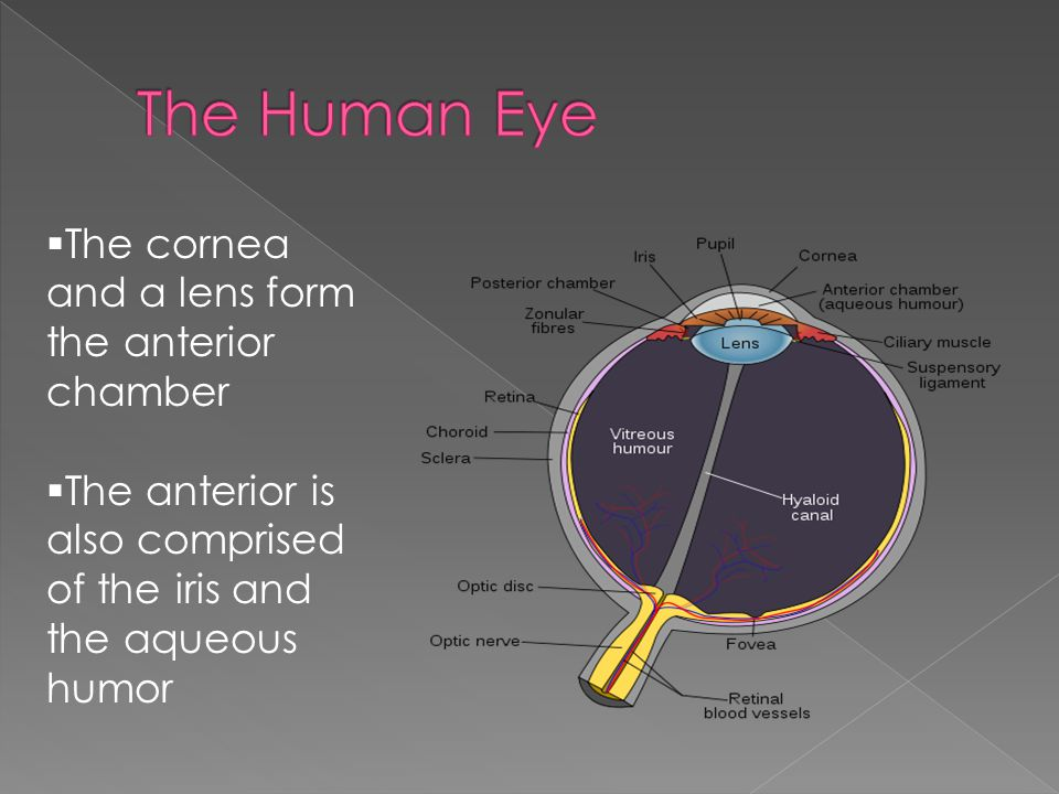 The Human Eye The cornea and a lens form the anterior chamber