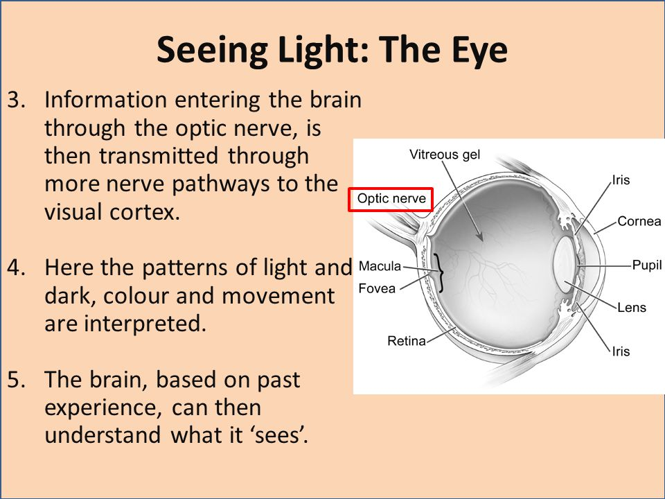 Seeing Light: The Eye Information entering the brain through the optic nerve, is then transmitted through more nerve pathways to the visual cortex.