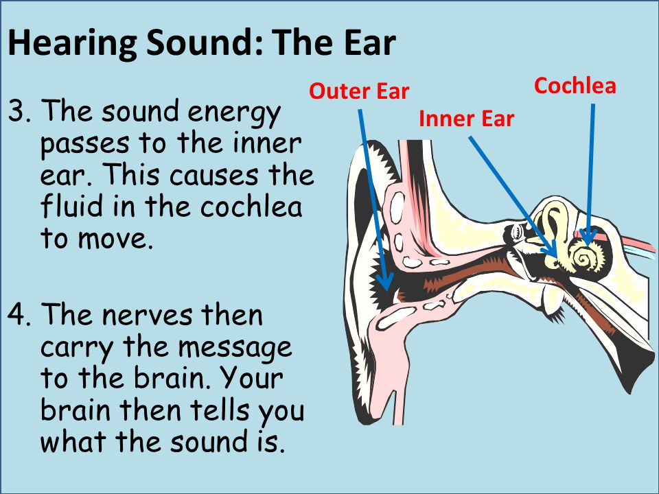 Hearing Sound: The Ear Cochlea. Outer Ear. The sound energy passes to the inner ear. This causes the fluid in the cochlea to move.