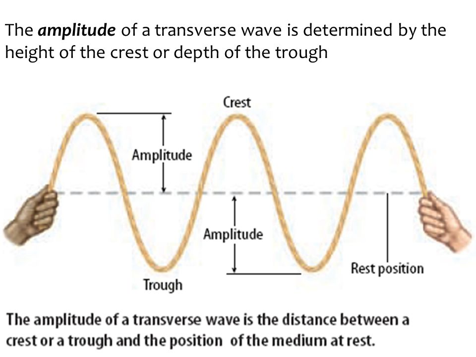 The amplitude of a transverse wave is determined by the height of the crest or depth of the trough