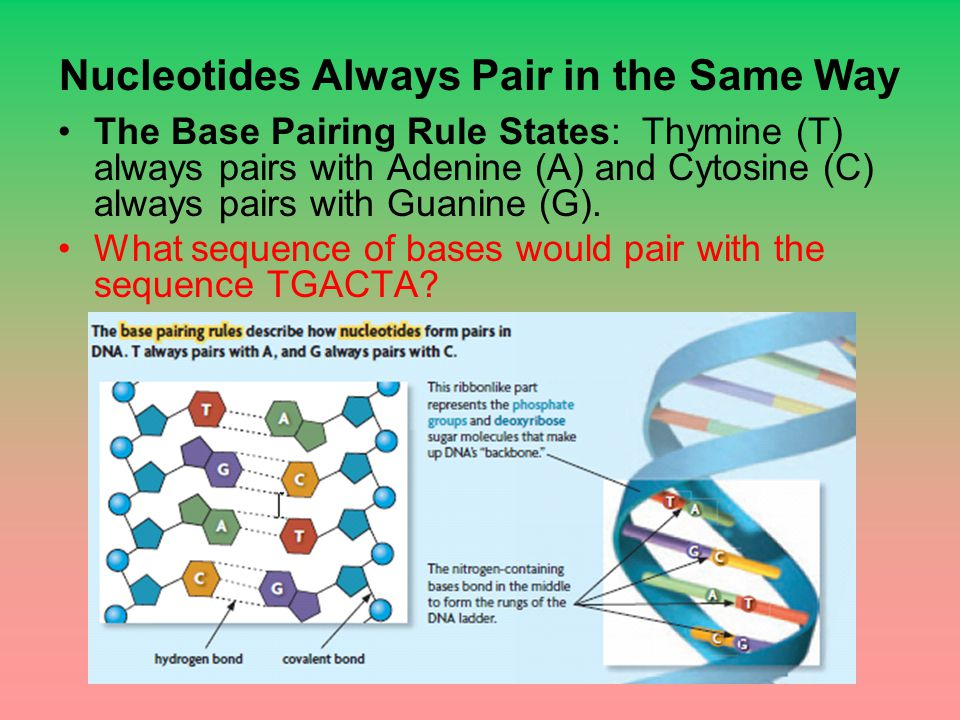 Nucleotides Always Pair in the Same Way