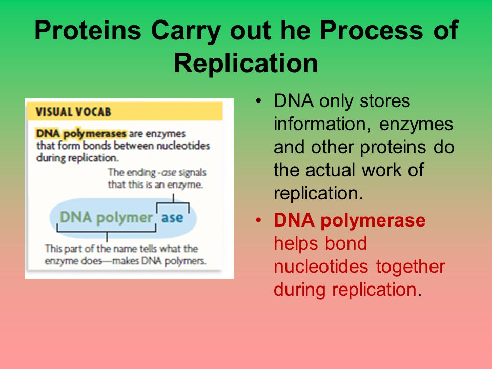 Proteins Carry out he Process of Replication