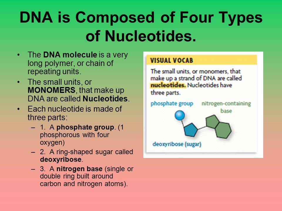 DNA is Composed of Four Types of Nucleotides.