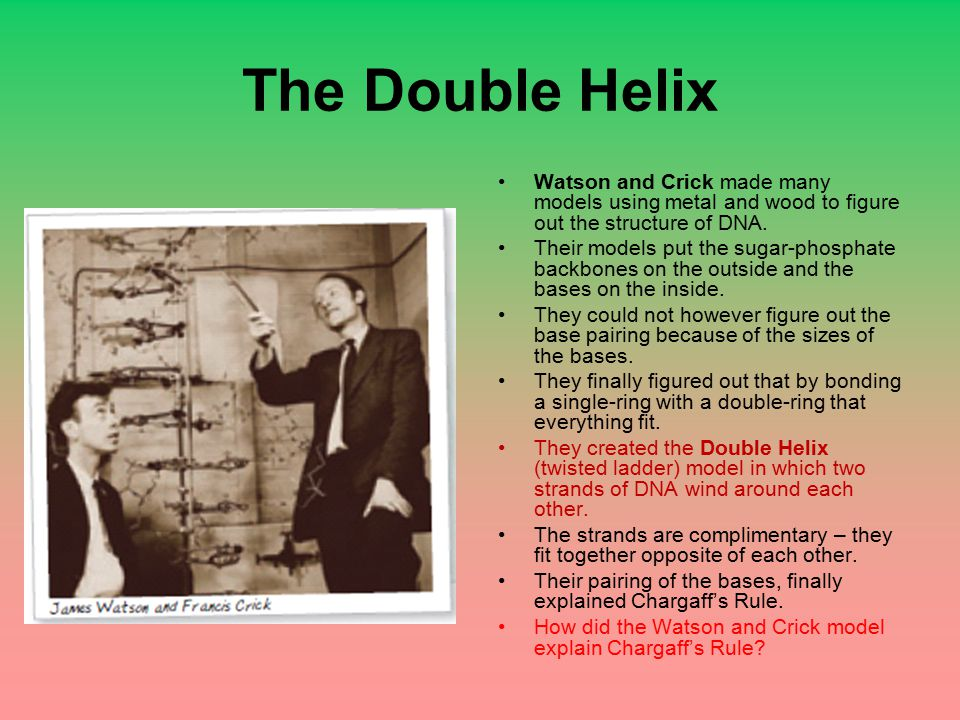 The Double Helix Watson and Crick made many models using metal and wood to figure out the structure of DNA.