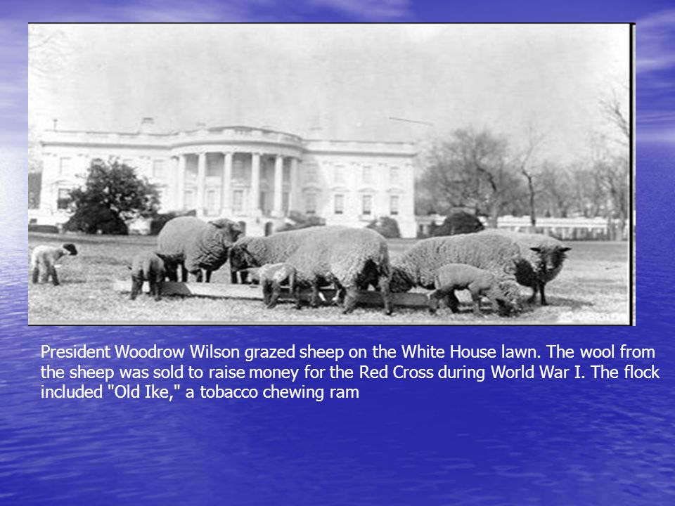 President Woodrow Wilson grazed sheep on the White House lawn