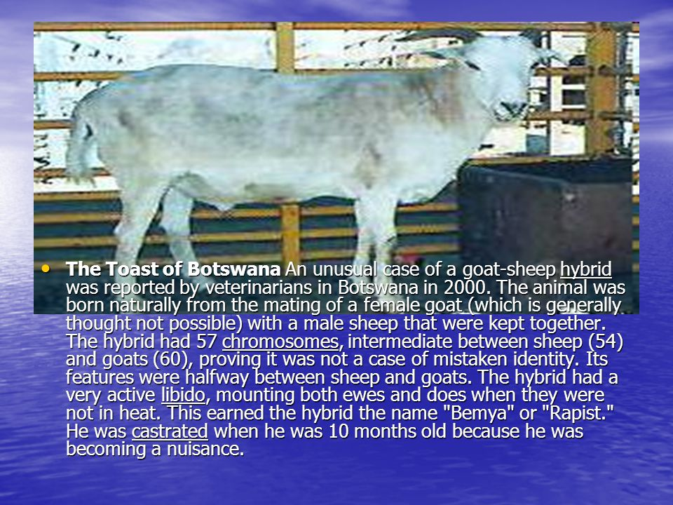 The Toast of Botswana An unusual case of a goat-sheep hybrid was reported by veterinarians in Botswana in 2000.
