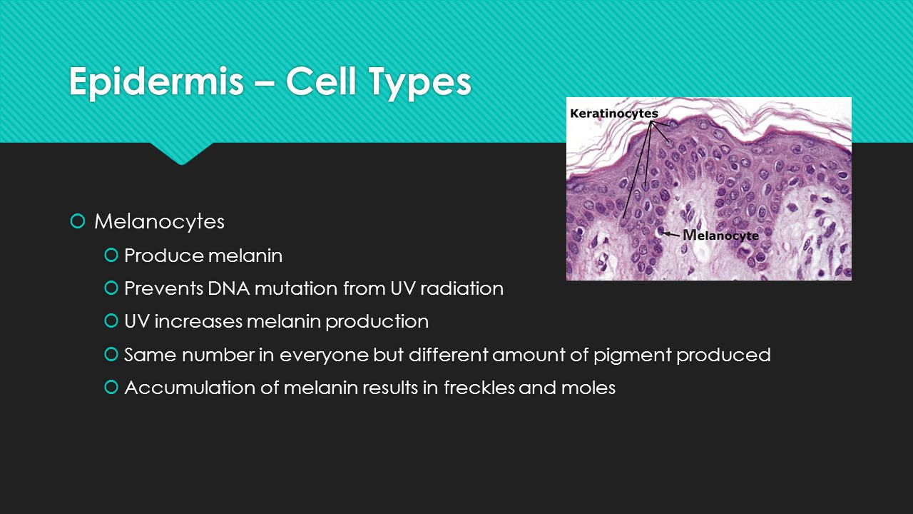 Epidermis – Cell Types Melanocytes Produce melanin