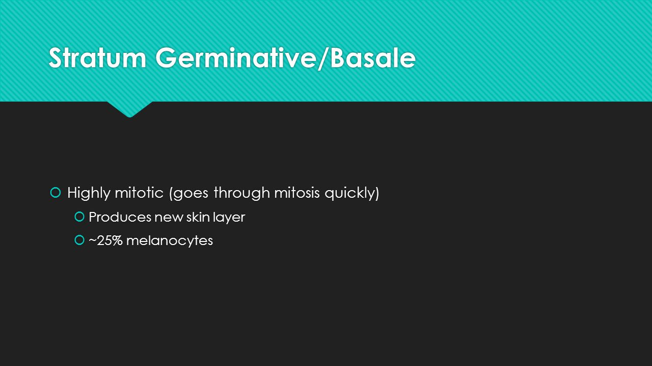 Stratum Germinative/Basale
