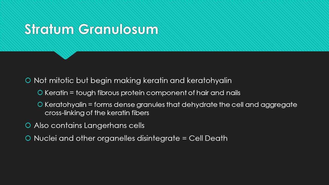 Stratum Granulosum Not mitotic but begin making keratin and keratohyalin. Keratin = tough fibrous protein component of hair and nails.