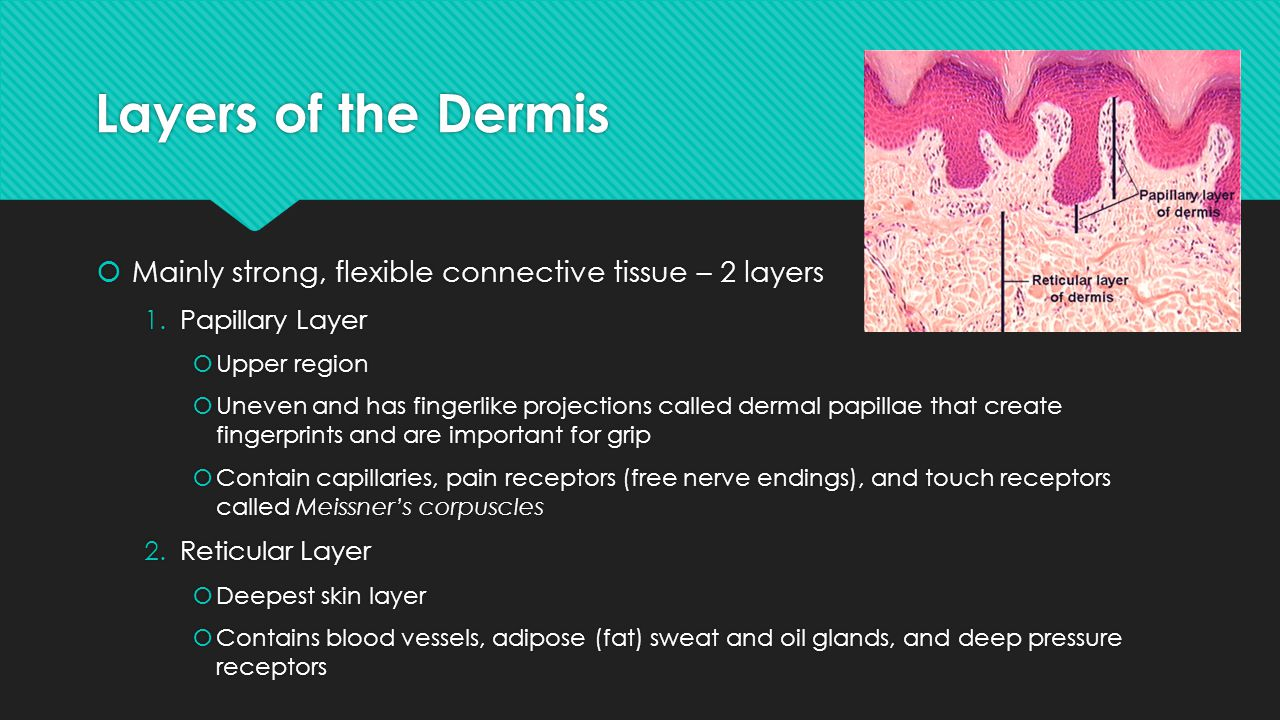 Layers of the Dermis Mainly strong, flexible connective tissue – 2 layers. Papillary Layer. Upper region.