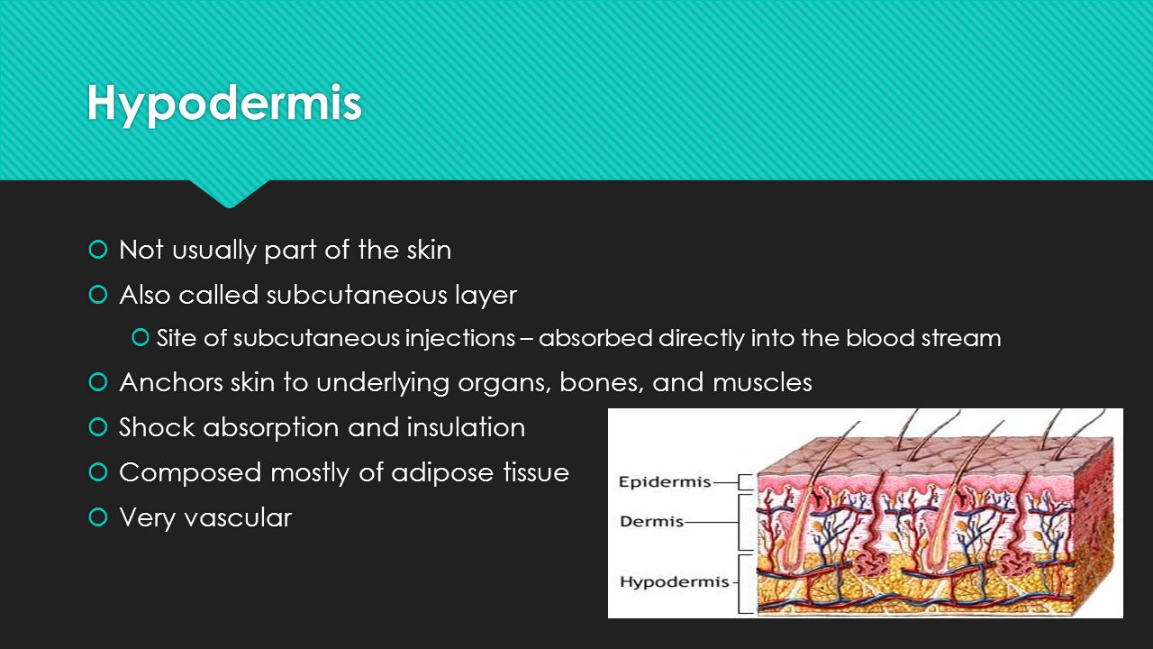 Hypodermis Not usually part of the skin Also called subcutaneous layer