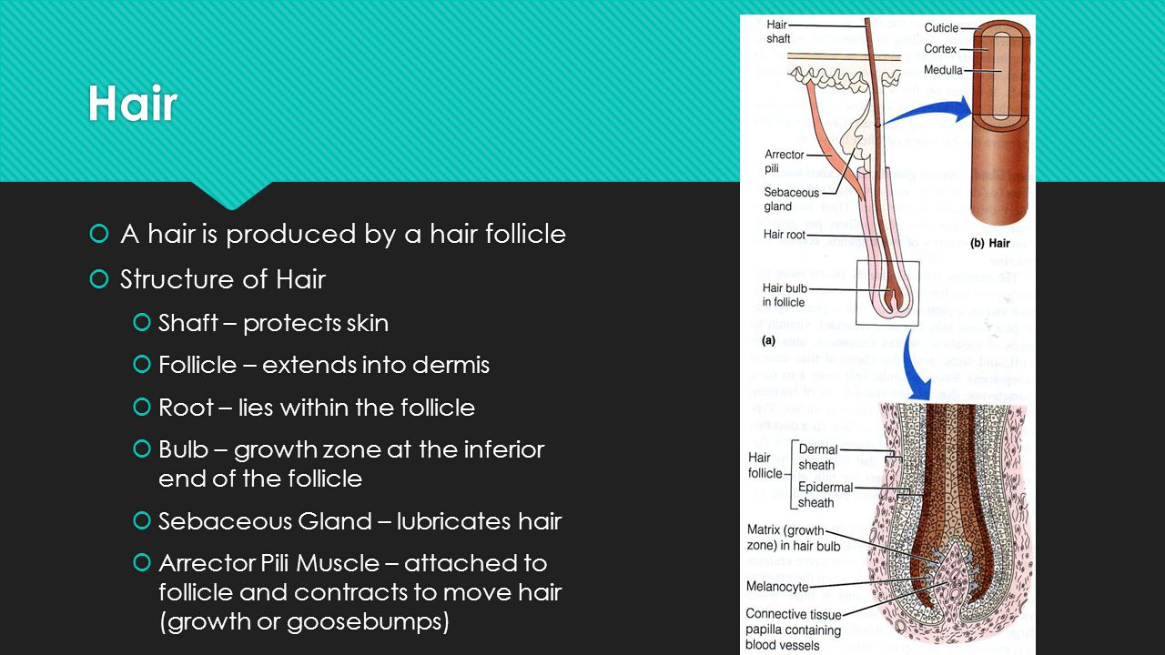 Hair A hair is produced by a hair follicle Structure of Hair