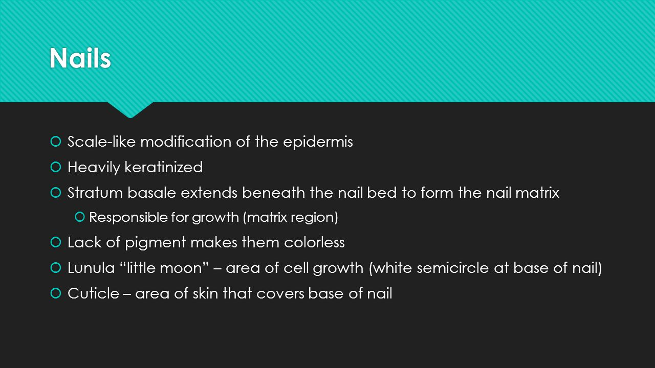 Nails Scale-like modification of the epidermis Heavily keratinized