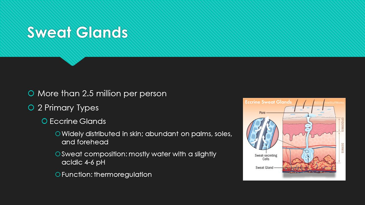 Sweat Glands More than 2.5 million per person 2 Primary Types