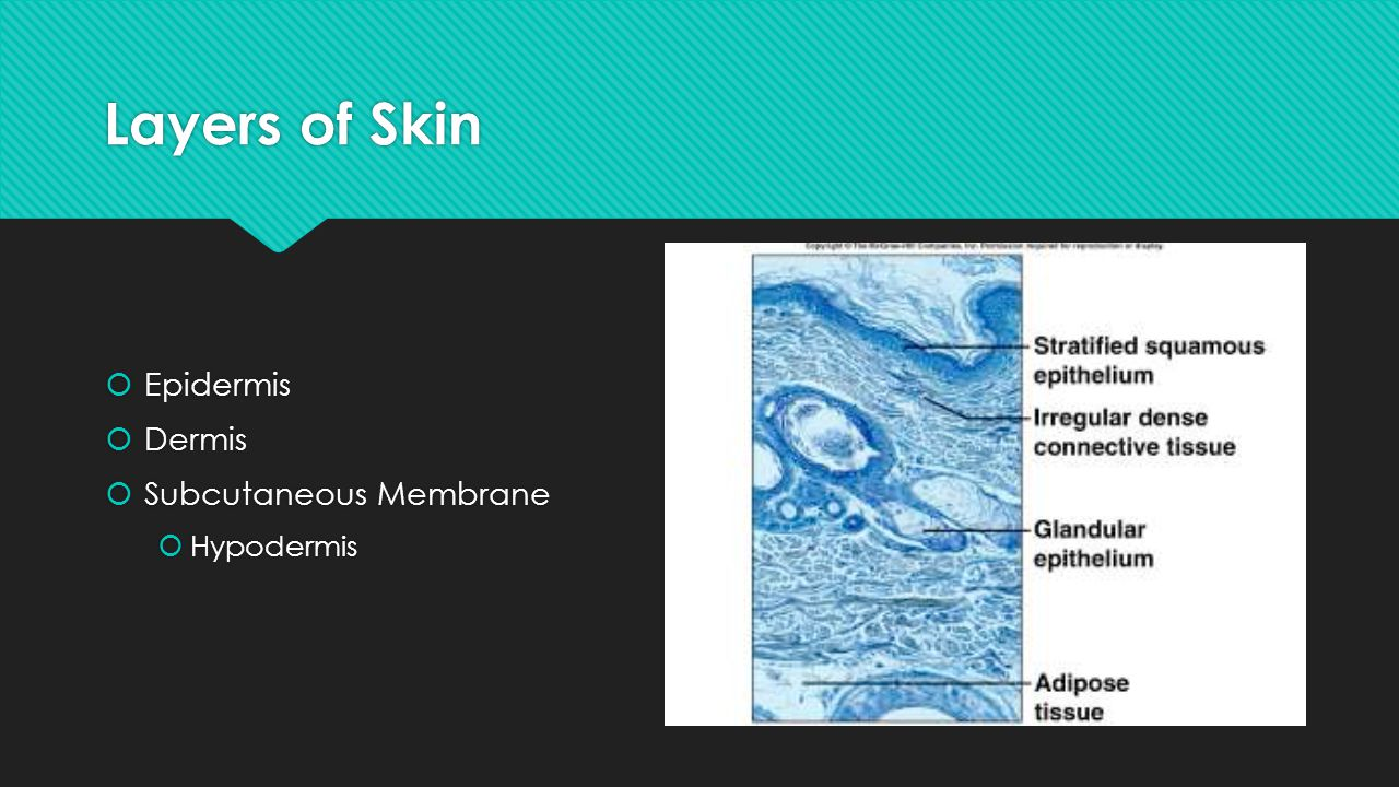 Layers of Skin Epidermis Dermis Subcutaneous Membrane Hypodermis