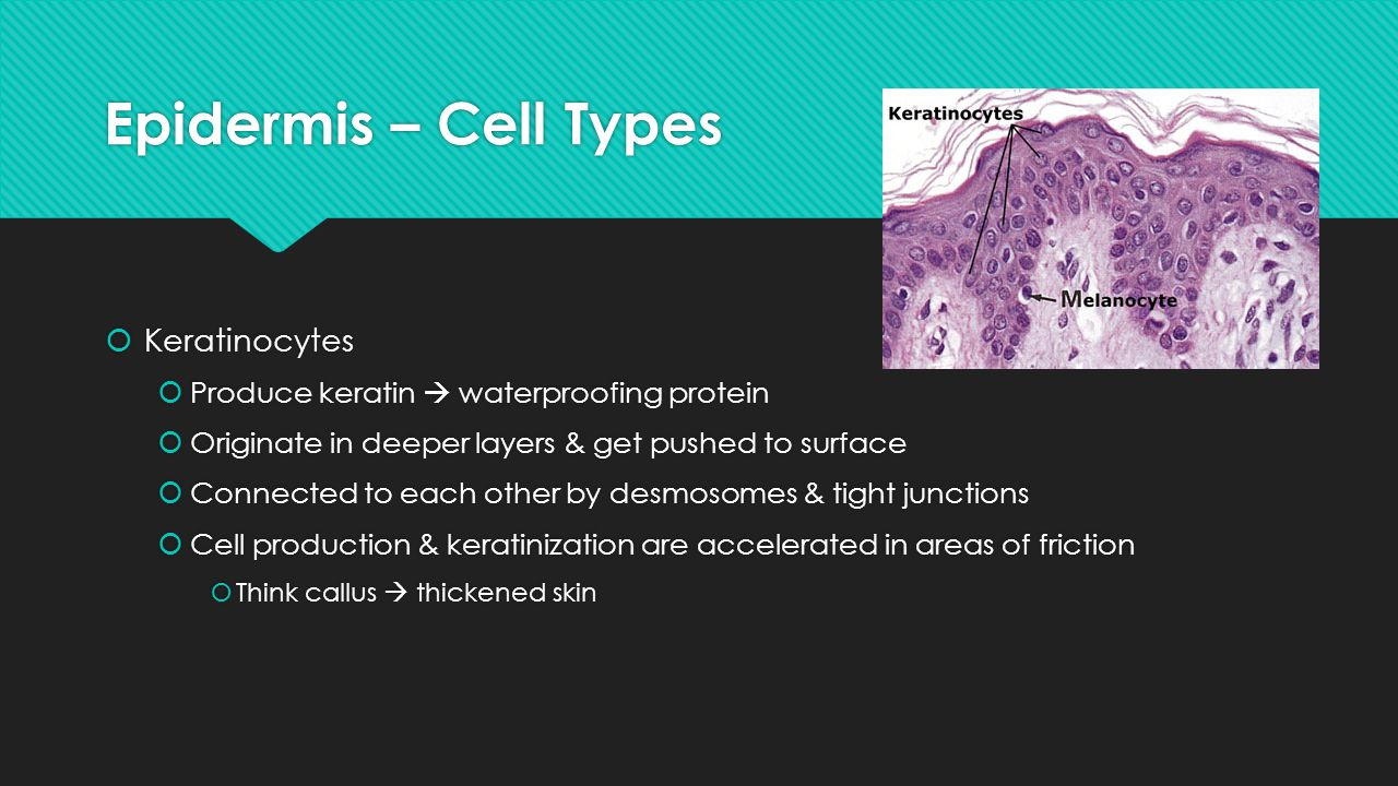 Epidermis – Cell Types Keratinocytes