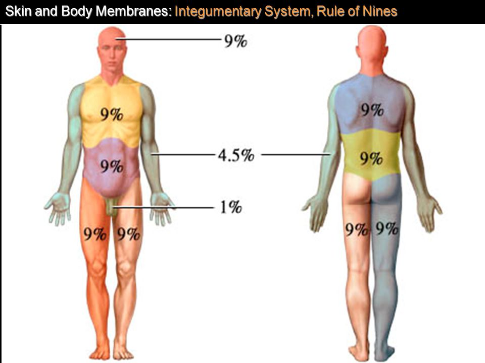 Skin and Body Membranes: Integumentary System, Rule of Nines