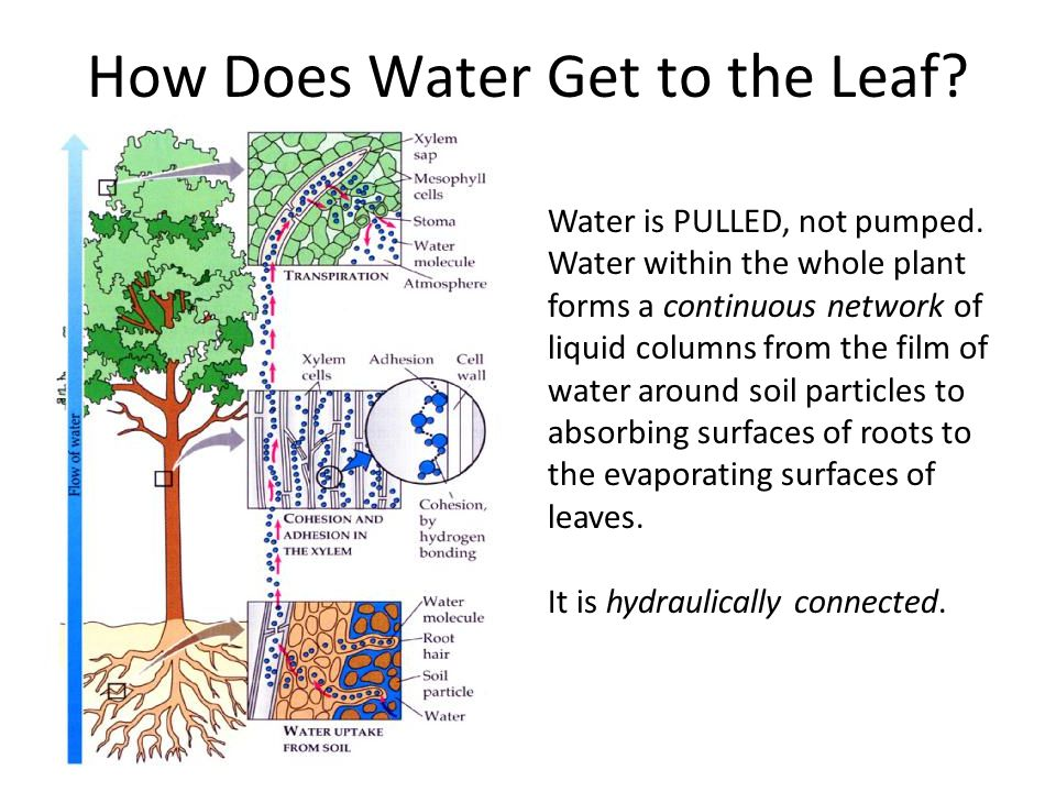 How Does Water Get to the Leaf