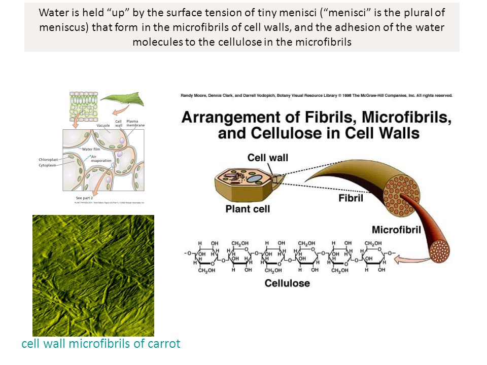 cell wall microfibrils of carrot
