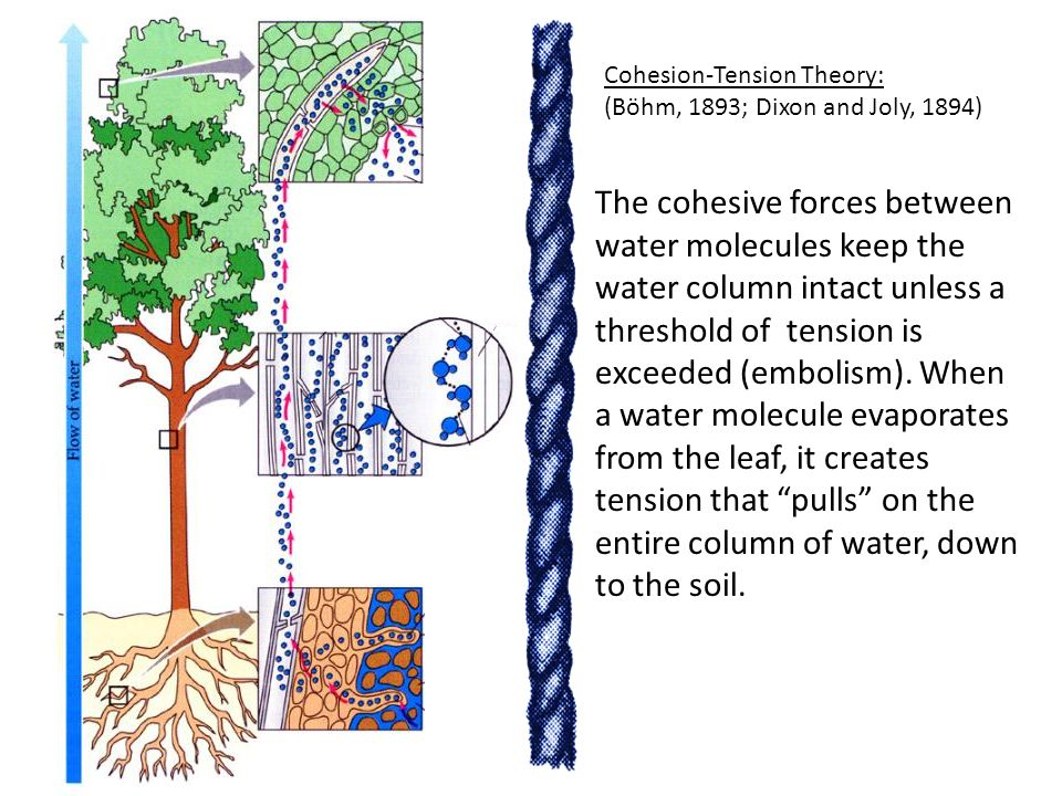 Cohesion-Tension Theory: