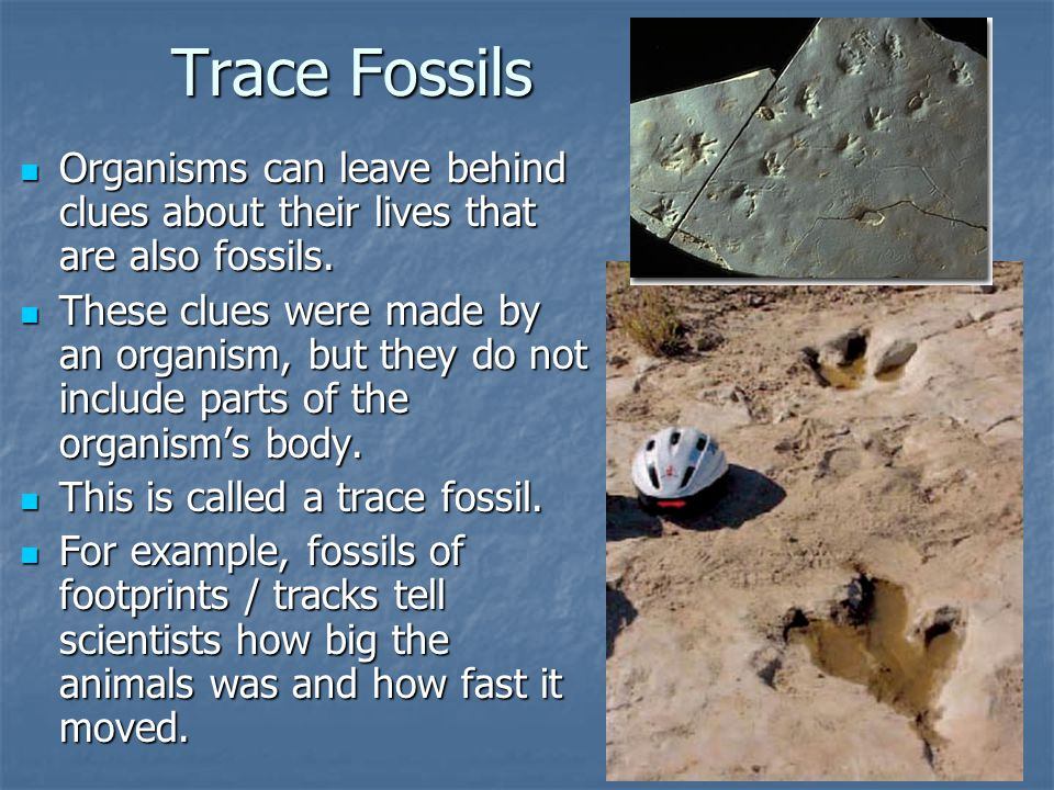 Trace Fossils Organisms can leave behind clues about their lives that are also fossils.