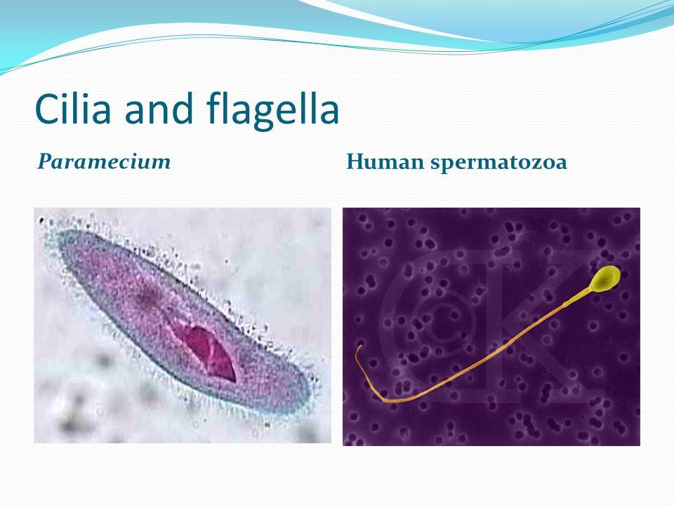 Cilia and flagella Paramecium Human spermatozoa